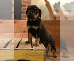 Small Photo #8 Rottweiler Puppy For Sale in NAPA, CA, USA