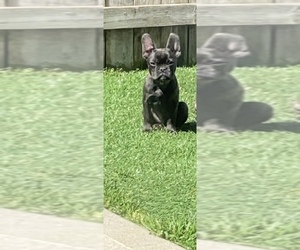 French Bulldog Puppy for Sale in DALLAS, North Carolina USA