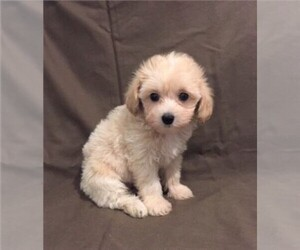 Havanese-Poodle (Toy) Mix Puppy for sale in ORO VALLEY, AZ, USA