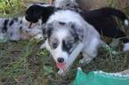 ABCA Reg Border Collie Puppies