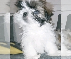 Shih Tzu Puppy for sale in FORT WORTH, TX, USA