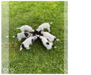 German Shorthaired Pointer Puppy for sale in CAPE CORAL, FL, USA