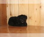 Puppy 0 Aussie-Poo