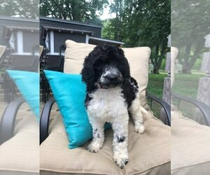 Labradoodle Puppy for Sale in REIDSVILLE, North Carolina USA