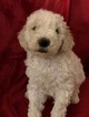 Poodle (Standard) Puppy For Sale in OWINGSVILLE, Kentucky,