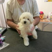 Poodle (Toy) Puppy For Sale in WEST HAVEN, CT, USA