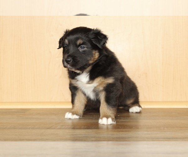 Medium Photo #13 Australian Shepherd Puppy For Sale in CARMEL, IN, USA
