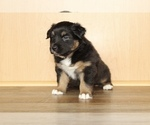 Small Photo #13 Australian Shepherd Puppy For Sale in CARMEL, IN, USA