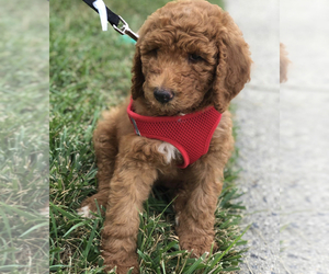 Goldendoodle-Poodle (Standard) Mix Puppy for sale in WAKE FOREST, NC, USA