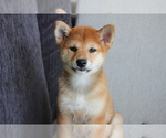 Small Photo #1 Shiba Inu Puppy For Sale in SEATTLE, WA, USA