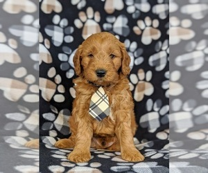 Goldendoodle Puppy for sale in QUARRYVILLE, PA, USA