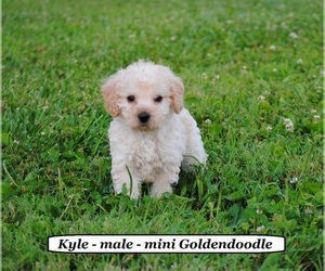Goldendoodle (Miniature) Puppy for sale in HOPKINSVILLE, KY, USA
