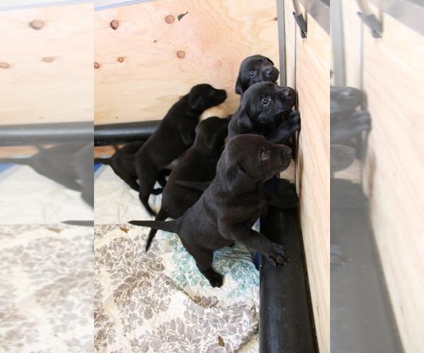 Medium Photo #4 Labrador Retriever Puppy For Sale in BOISE, ID, USA