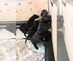 Small Photo #4 Labrador Retriever Puppy For Sale in BOISE, ID, USA