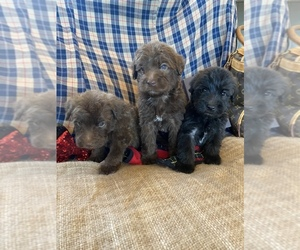 Soft Coated Wheaten Terrier Puppy for sale in TEMECULA, CA, USA