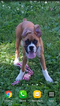 Boxer Puppy For Sale in LA VALLE, WI