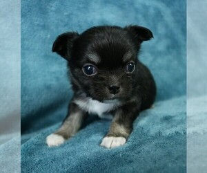 Chihuahua Puppy for sale in MUSKOGEE, OK, USA