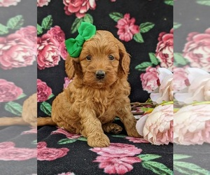 Cavapoo-Poodle (Miniature) Mix Puppy for sale in NEW PROVIDENCE, PA, USA