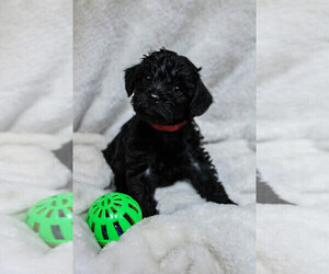 Schnoodle (Miniature) Puppy for Sale in AURORA, Colorado USA