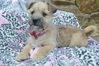Morkie-Poodle (Miniature) Mix Puppy For Sale in HONEY BROOK, PA, USA