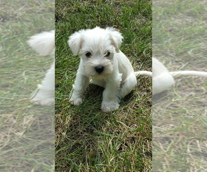 Schnauzer (Miniature) Puppy for Sale in LEESBURG, Virginia USA