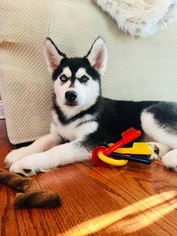Siberian Husky Puppy for sale in TRUMBULL, CT, USA