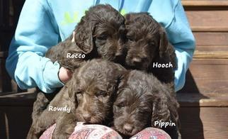 Labradoodle Puppy For Sale in JASPER, GA, USA