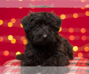 Scoodle Puppy for Sale in MIFFLINBURG, Pennsylvania USA