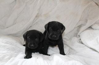 Labrador Retriever Puppy For Sale in BRAZIL, IN