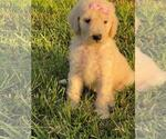 Puppy 1 Goldendoodle-Poodle (Standard) Mix