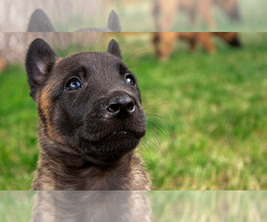 Belgian Malinois Puppy for Sale in FORT COLLINS, Colorado USA