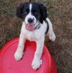 English Springer Spaniel Puppy For Sale in CORVALLIS, OR, USA