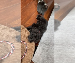 Goldendoodle Dog for Adoption in SMYRNA, Tennessee USA