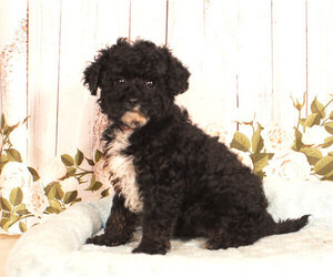 Cavapoo Puppy for sale in PENNS CREEK, PA, USA