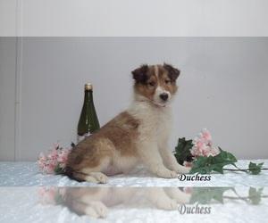 Collie Puppy for sale in CLARKRANGE, TN, USA