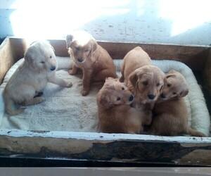 Golden Retriever Puppy for Sale in HILBERT, Wisconsin USA