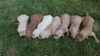 Goldendoodle Puppy For Sale in EPHRAIM, UT