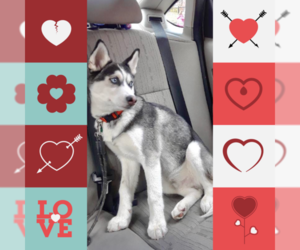 Siberian Husky Puppy for sale in GARDEN CITY P, NY, USA