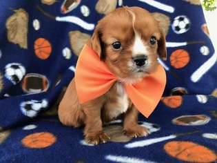 Cavalier King Charles Spaniel Puppy For Sale in EAST EARL, PA