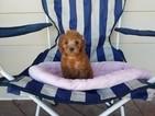 Maltipoo Puppy For Sale in AGUA DULCE, CA, USA