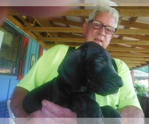 Great Dane Puppy for Sale in BLUE CREEK, Ohio USA