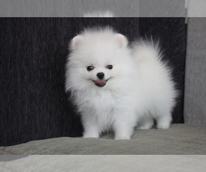 Pomeranian Puppy for Sale in LOS ANGELES, California USA