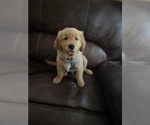 Small Photo #5 Golden Retriever Puppy For Sale in PACE, FL, USA