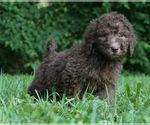 Puppy 9 Labradoodle-Poodle (Standard) Mix