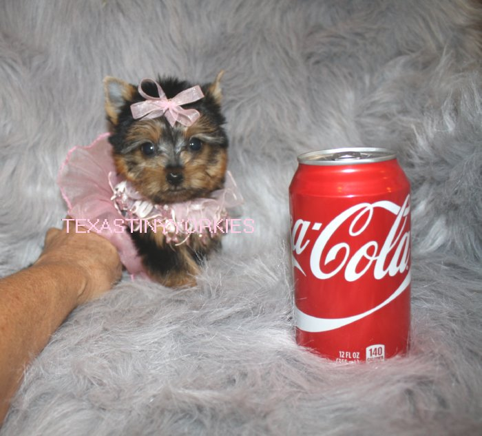 View Ad Yorkshire Terrier Puppy For Sale Texas Abilene Usa