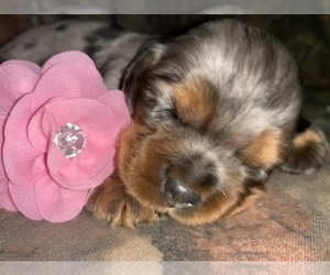 Cocker Spaniel Puppy for sale in PENSACOLA, FL, USA