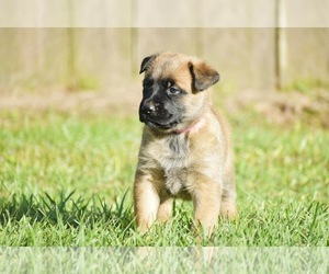 Belgian Malinois Puppy for Sale in OPELOUSAS, Louisiana USA