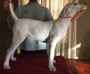 Dogo Argentino Puppy For Sale in MARION, IA