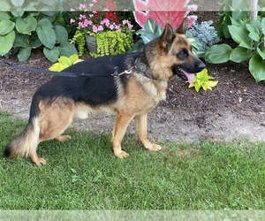 German Shepherd Dog Puppy for sale in WESTBY, WI, USA