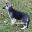 German Shepherd Dog Puppy For Sale in EDWARDS, MO, USA